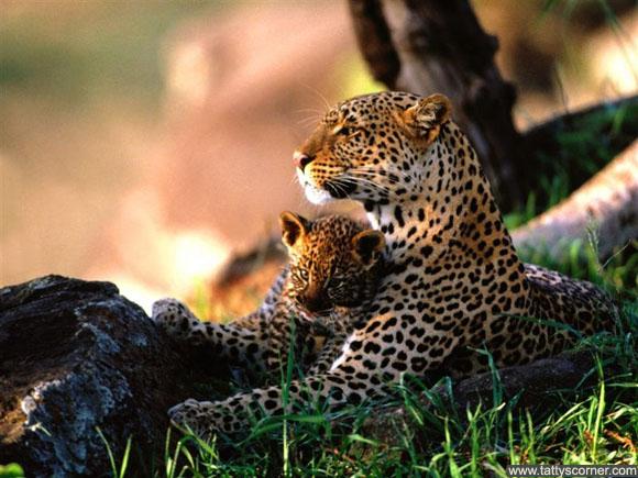 800-Babysitting,_African_Leopards
